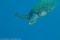 BD-141017-Komodo-5182-Eretmochelys-imbricata-(Linnaeus.-1766)-[Hawksbill-turtle.-Karettsköldpadda].jpg